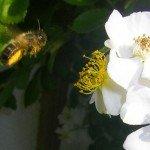 Biene im Anflug auf die Blüten der Rosa multiflora