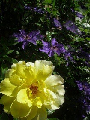 clematis-mit-gelber-rose