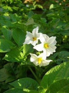 Schönheit der Kartoffelblüte