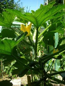 """""""Kletterzucchini"""" - eine normale Zucchini am Stab bzw. Pfahl hochgezogen"""