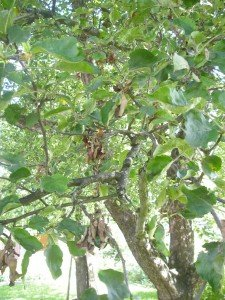 Spitzendürre an Apfelbaum