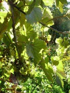 Mehltau an Wein