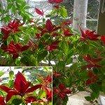 Übersommerter Weihnachtsstern mit vielen roten Scheinblüten