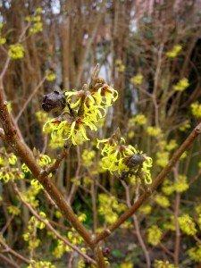 Zaubernuss - ein Frühjahrsblüher
