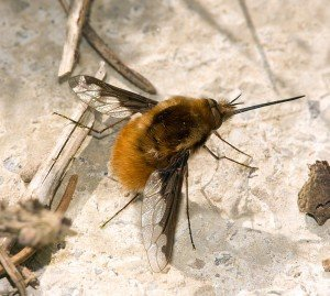 Grosser Wollschweber Bombylius major