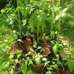 Tomatenpflanzen in Töpfen