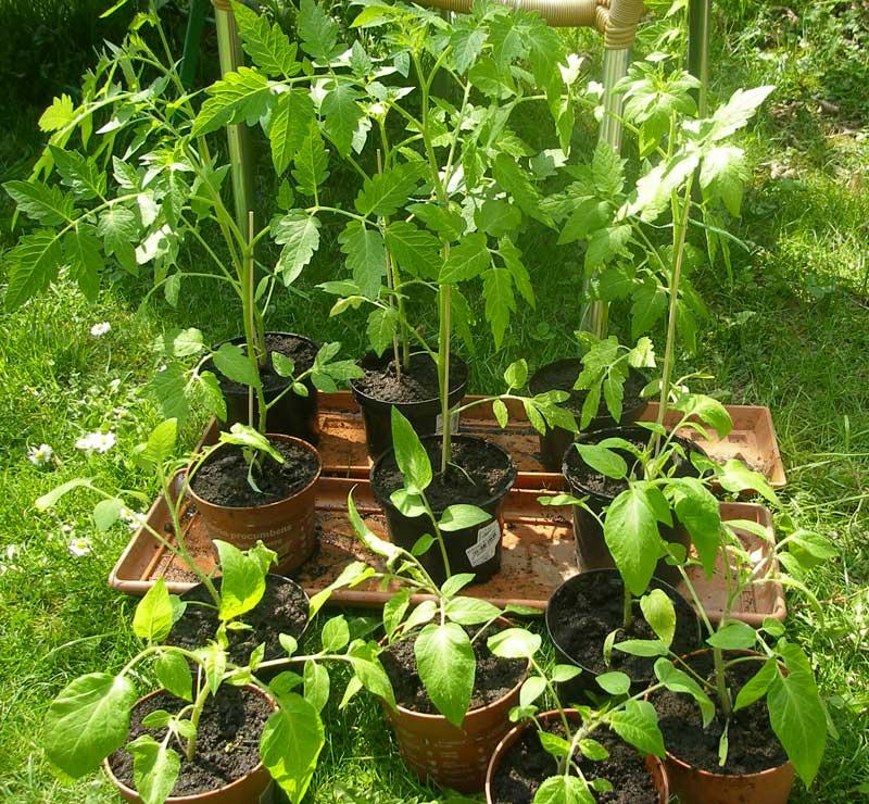 tomatenpflanzen in neue t pfe gesetzt im gartenblog. Black Bedroom Furniture Sets. Home Design Ideas