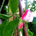 Makro Blüte von rosa-weißer Duftwicke