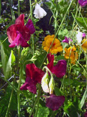 Nahaufnahme der Blüten von Duft- oder Edelwicken