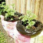 Kartoffeln im Gartenerde-Sack gezogen