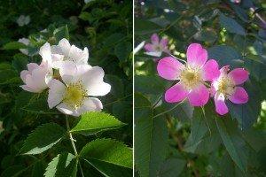Rosa Canina und unbekannte Rose