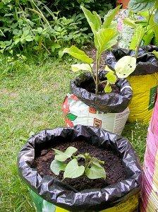 Süßkartoffel und Auberginen in Pflanzsäcken