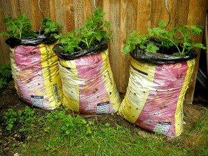 Kartoffeln in Säcken gezogen nach dem Vorbild des Prinzessinnengarten in Berlin