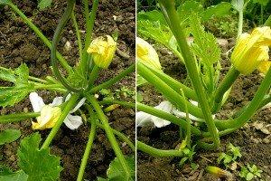 """Zucchini am Stab - die """"Kletter""""-Zucchini"""