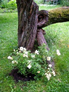 Ramblerrose Gold Finch gepflanzt