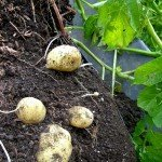 Sack-Kartoffeln a la Prinzessinnengarten - Der wiederverwertete Plastiksack wird geöffnet