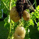 Sack-Kartoffeln nach dem Vorbild des Prinzessinnengarten am 27.07.2011