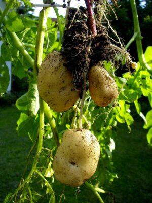 Sack-Kartoffeln ala Prinzessinnengarten am 27.07.2011