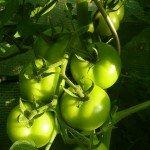 Grüne Früchte der Tomate Fantasia F1