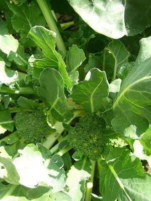 Nachgewachsene Brokkoli-Röschen