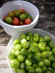 Grüne und halbrote Tomaten