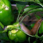 Nacktschnecke an noch grünen, unreifen Paprika