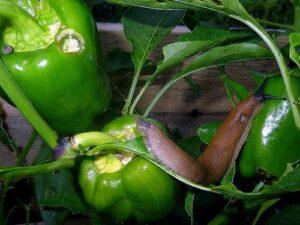 Trotz Helix tosta: Nacktschnecken bohren Löcher in den noch grünen, unreifen Paprika