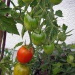 Die Baumtomate De Bearo mit vielen Früchten und sehr Tomaten Braunfäule resistent
