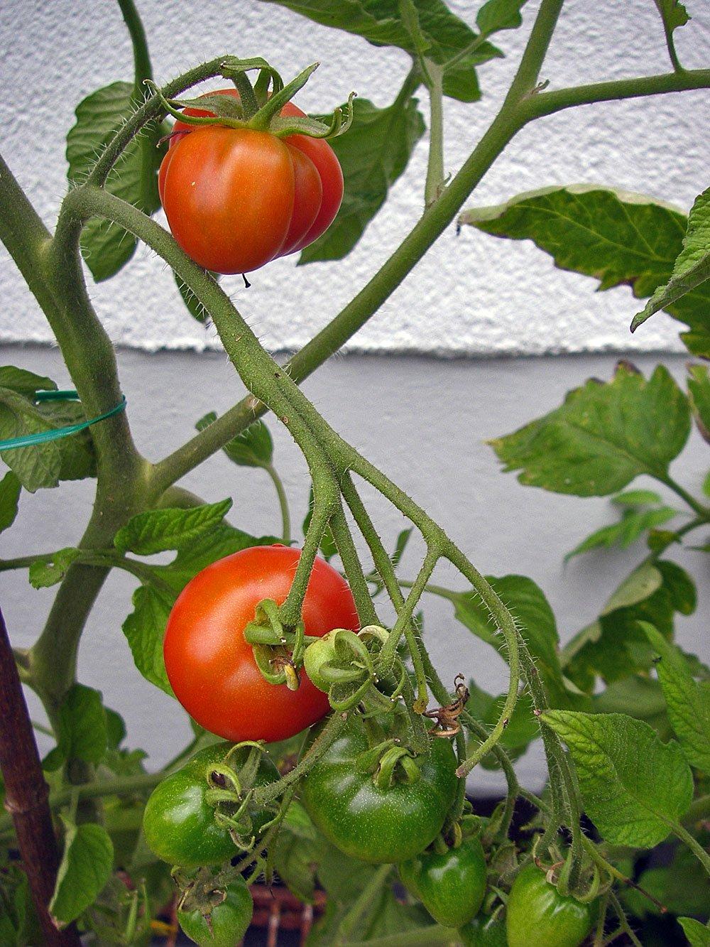 tomaten drei sorten im berblick im gartenblog. Black Bedroom Furniture Sets. Home Design Ideas