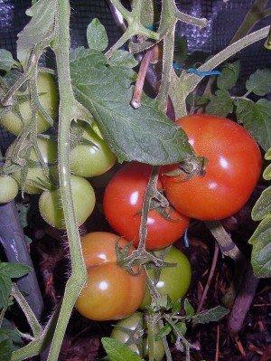 Die Tomate Fantasia F1 ist Braunfäule resisitent und wüchsig
