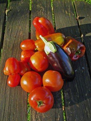 Mini-Auberginen ernten mit Tomaten und Paprika