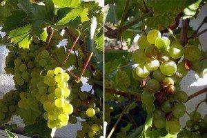 Weintrauben 2011 - mit und ohne Mehltau