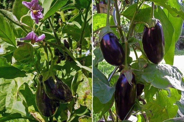 Mini-Auberginen ernten - Früchte und neue Blüten