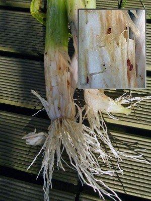Makro des durch die Laven der Lauchminierfliege zerfressenen Porree