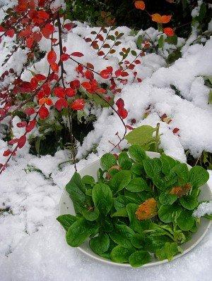 Feldsalat im Schnee
