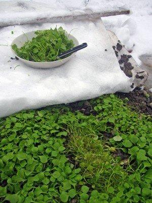 Winterpostelein - mit Vlies vorm Schnee geschützt