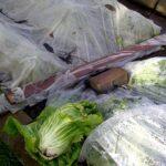 Zuckerhut und Endivien unter Vlies und Folie