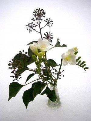 Fresien mit Efeu (Adultform mit Blütenständen)