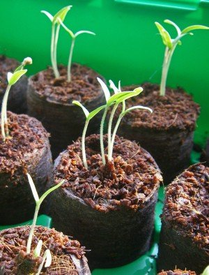 Tomaten-Sämlinge am 10.02.2012