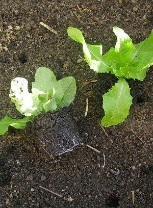 Kräftige Salatpflanzen am 16.03. aus dem Topf