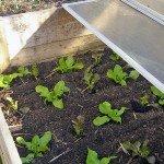 Das Frühbeet - am 10.03. mit den vorgezogenen Salatpflanzen bepflanzt