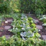 Beet 6 - Blumenkohl, Wirsing und Sprossenbrokkoli