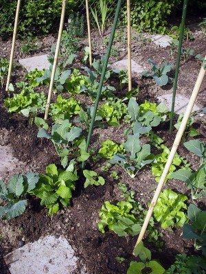 Beet für Stangenbohnen mit Salat, Kohlrabi,, Radieschen und Frühlingszwiebel