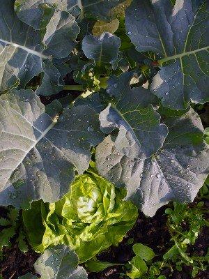 Brokkoli mit Kopfsalat und Rukola