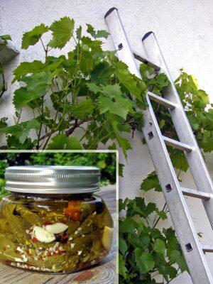 Weinstock nach Sommerschnitt Weinrebe und Glas mit eingelegten Weinblättern