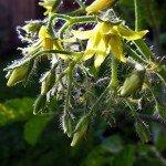 Gelbe Tomatenblüten der Sorte Dattelwein