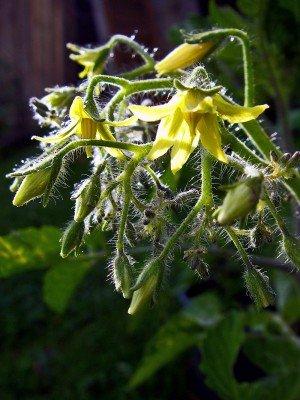 Blüte der Tomate Dattelwein