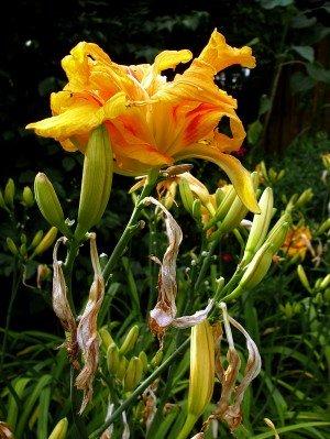 Taglilie mit Blüten und Knospen