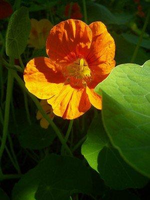 Kapuzinerkresse - Arzneipflanze des Jahres 2013