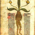 Alraunenmännchen aus dem 1485 gedruckten Kräuterbuch Gart der Gesundheit